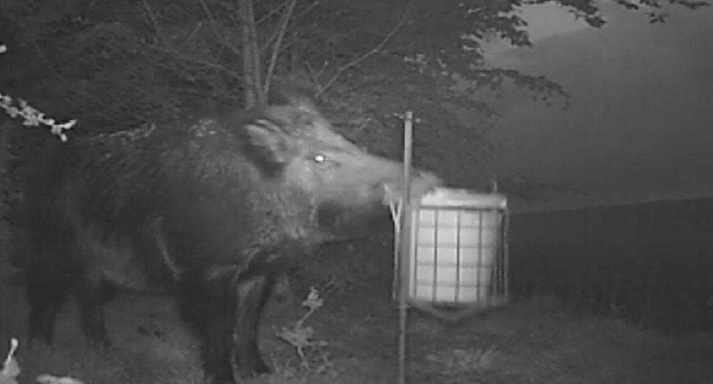 Una cámara trampa graba a un jabalí haciendo de las suyas en un comedero de perdiz