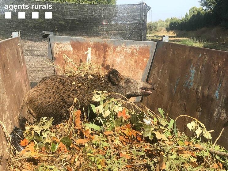Agentes rurales rescatan a un jabalí atrapado en un contenedor