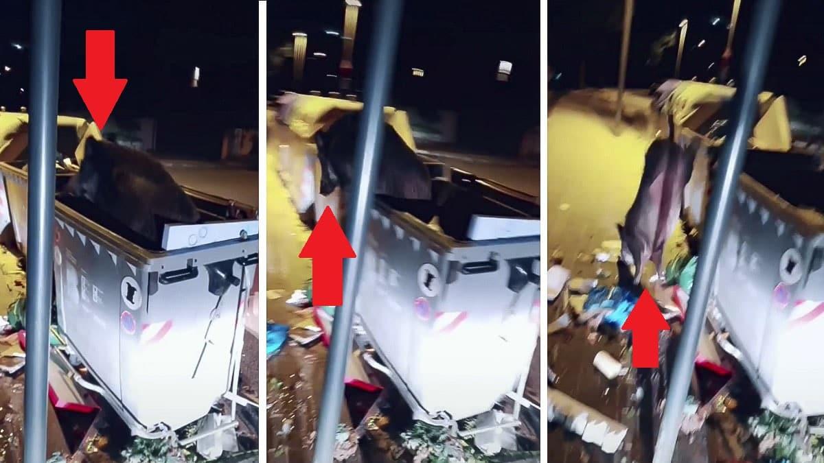 Baja a tirar la basura y un jabalí sale del interior del contenedor