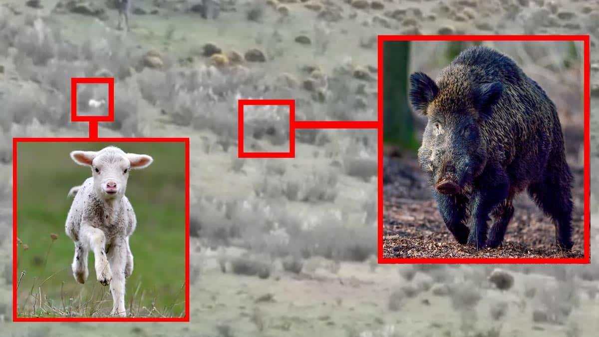 Graban a una piara de jabalíes cazando como lobos: capturan y devoran a un cordero