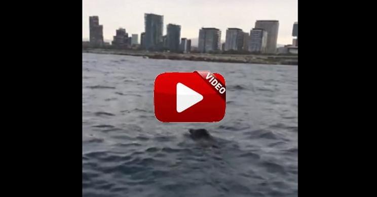 Dos pescadores graban un jabalí nadando junto a la Costa de Barcelona