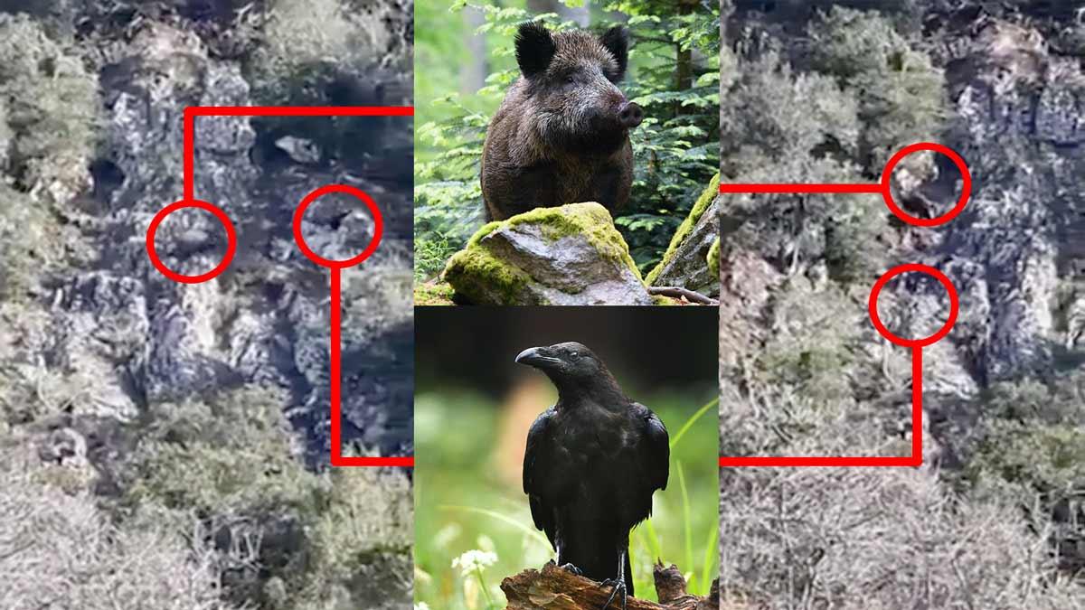 Un jabalí intenta cazar a un cuervo como si fuera un perro de caza ¿Por qué?
