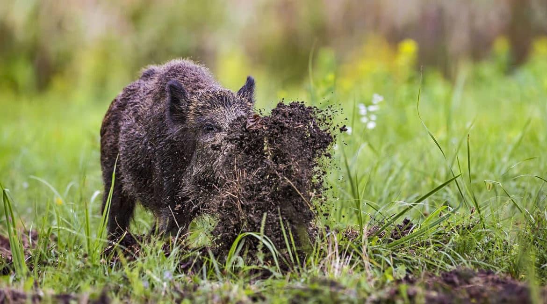 Aragón declara esencial la caza de conejo, jabalí, corzo, ciervo y cabra montés si causan daños