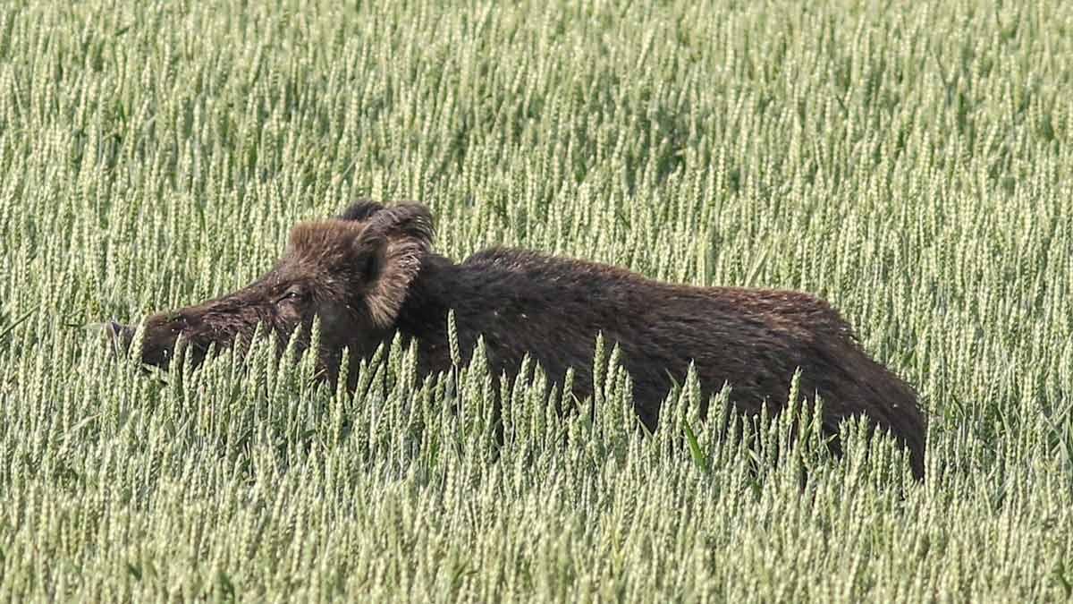 Castilla y León autoriza la caza por daños de conejos y jabalíes desde el 24 de abril