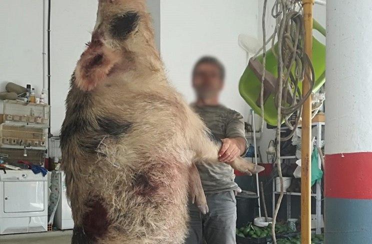 jabali de mas de 250 kilos