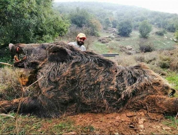 jabali de mas de 300 kilos