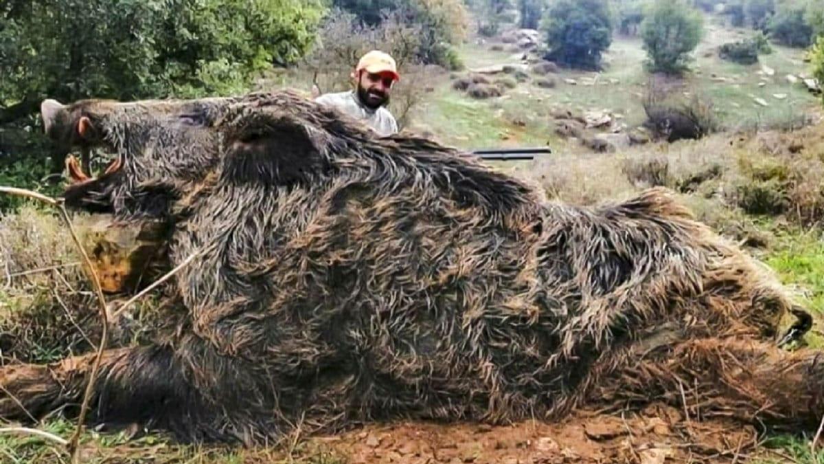 Este monstruoso jabalí de «más de 300 kilos» no deja indiferente a nadie