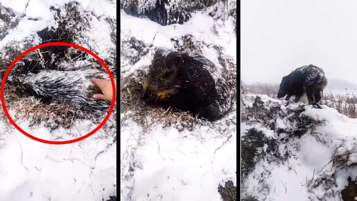 Un cazador encuentra un jabalí enterrado bajo la nieve y al tocarlo descubre que está vivo