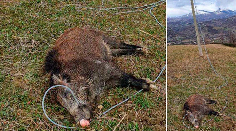 Los tendidos eléctricos también matan jabalíes: este murió al morder un cable