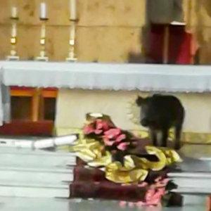 Un jabalí entra en una iglesia, se come las flores de adorno y se vuelve viral