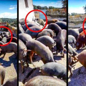 Un ganadero recoge a sus cerdos y se encuentra esta sorpresa: un jabalí 'infiltrado'