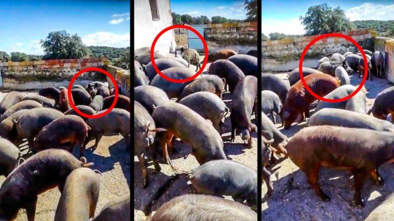 El jabalí, en medio de los cerdos. © YouTube