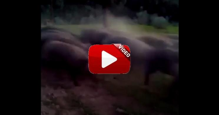 Un jabalí intenta pasar de incógnito entre una piara de cerdos