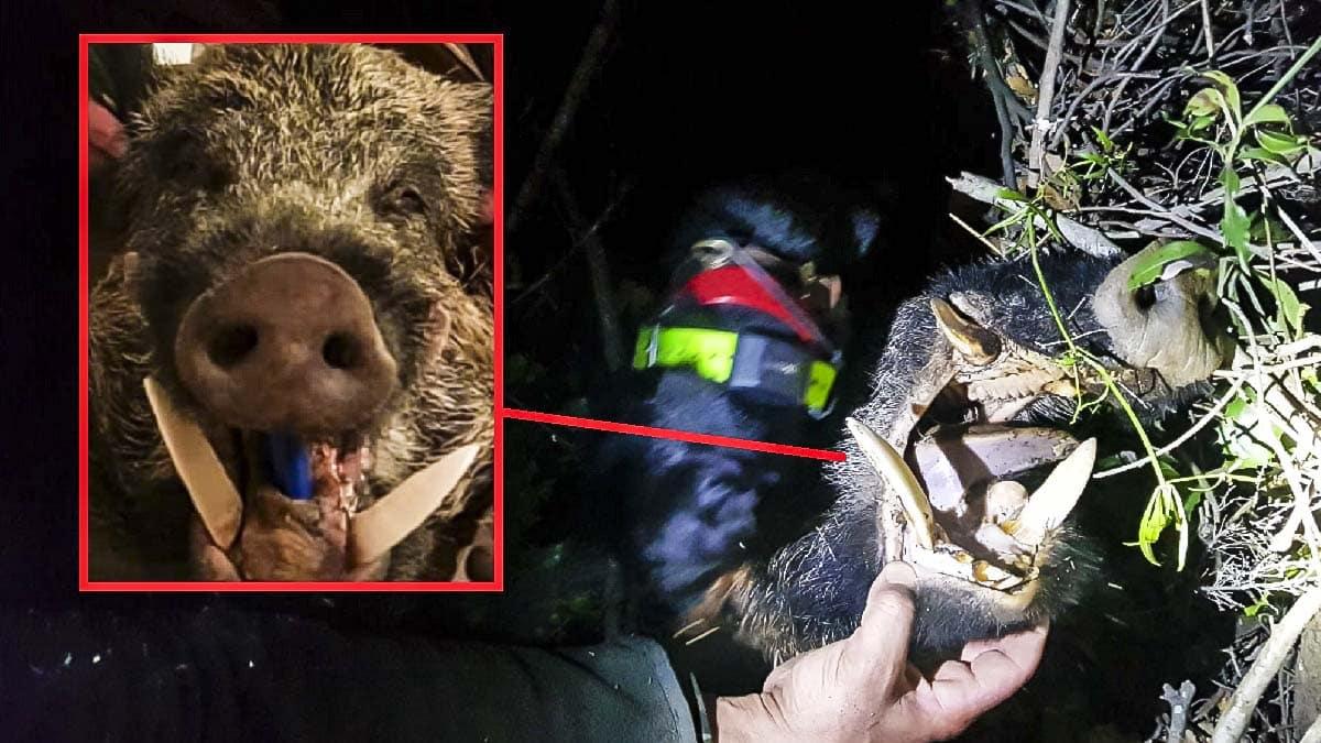 Un cazador consigue abatir a un resabiado jabalí con unos colmillos de 24 centímetros con esta curiosa estrategia