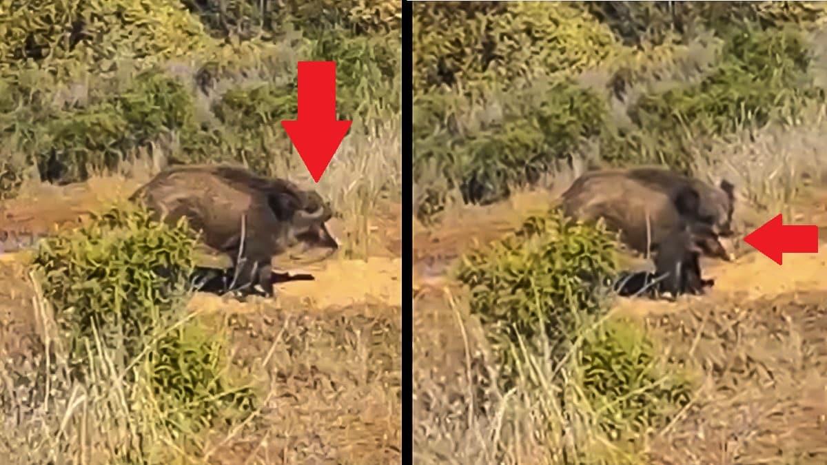 Graban a un jabalí sin jeta comiendo en un coto de caza