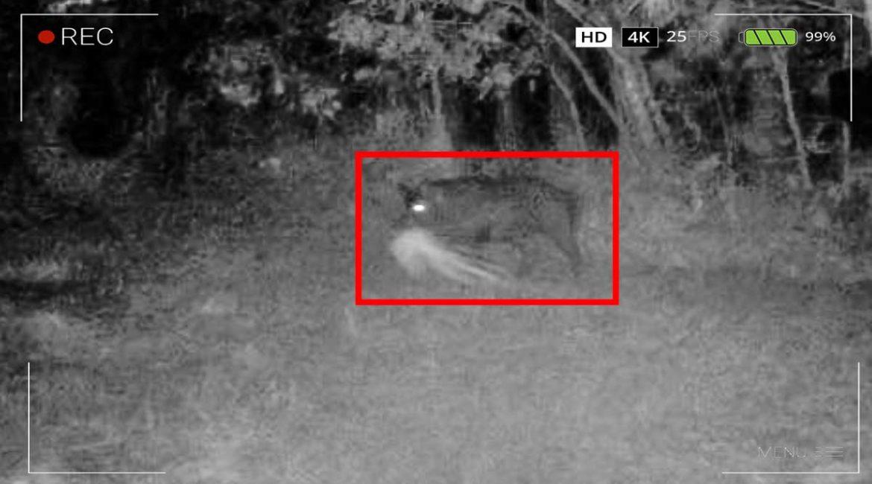 Un caso para Íker Jiménez: la foto de un jabalí arrastrando una forma fantasmagórica