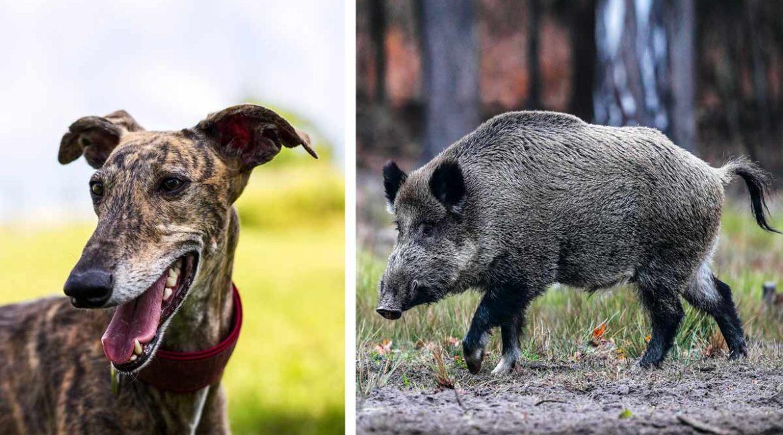Una animalista confunde un jabalí muerto con un galgo: «la criaturita no tenía chip»