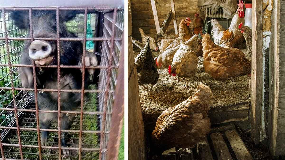 Pilla a un jabalí comiendo sus gallinas como si fuera un zorro y esto es lo que hace