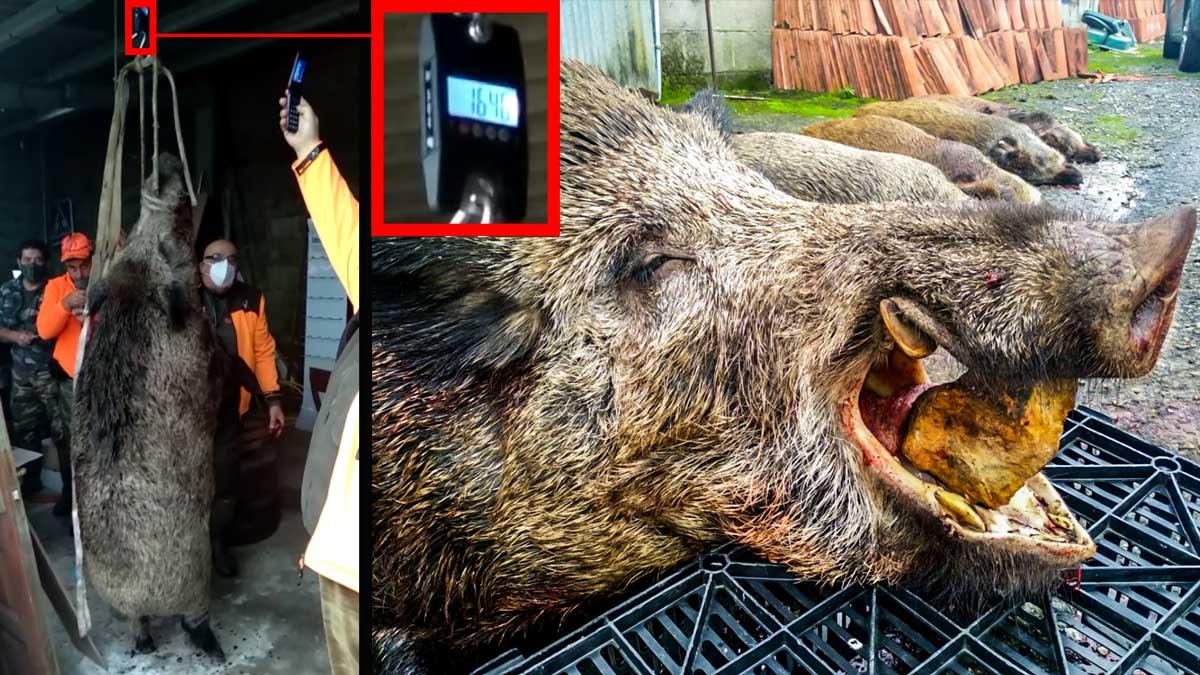 Cazan en Galicia un jabalí gigante de 164,5 kilos: uno de los más grandes de 2020