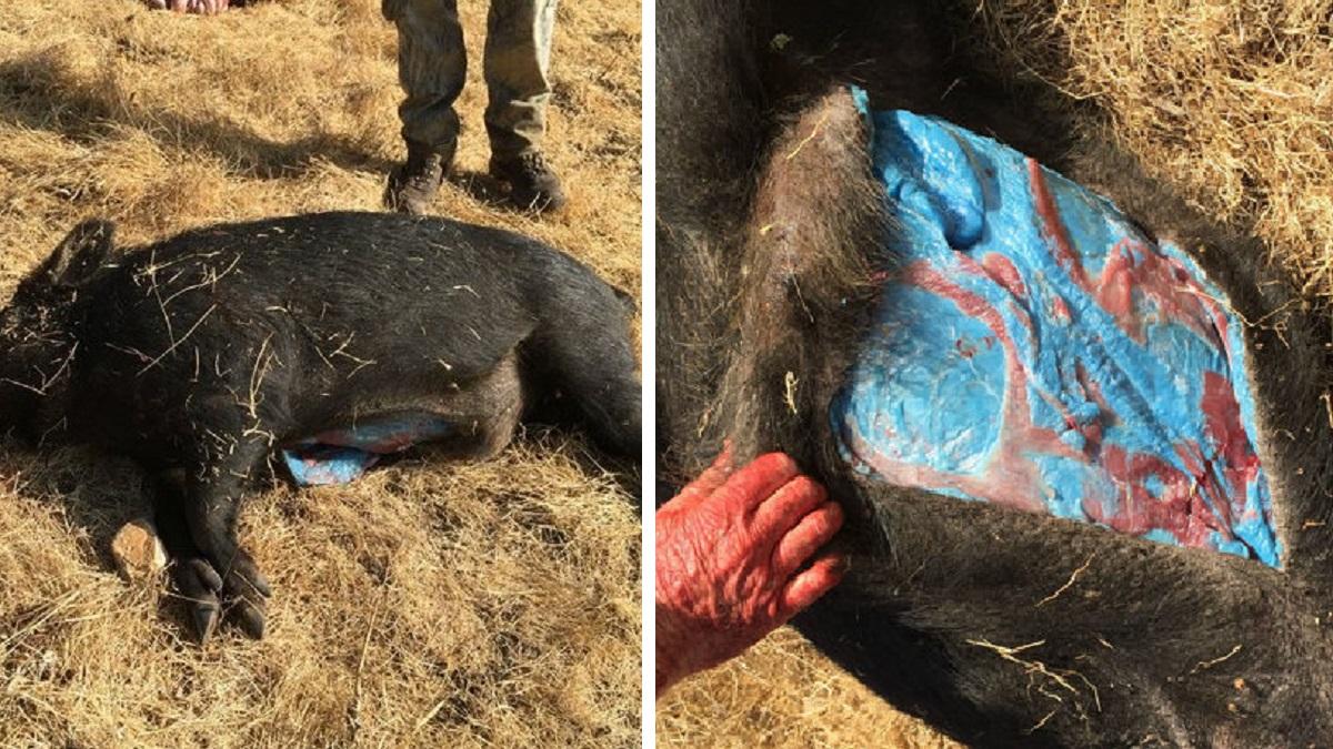 El jabalí con la grasa de color azul descubierto por un cazador sigue sorprendiendo al mundo
