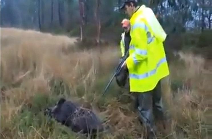 Un jabalí herido se levanta y al dispararlo casi alcanza a su compañero