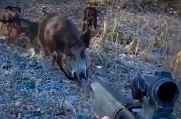 Un cochino herido se levanta y arremete contra un cazador