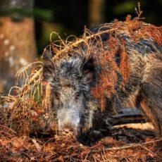 Murcia también aplica el modelo andaluz y permitirá la movilidad para cazar especies de mayor y conejos