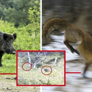 Un jabalí intenta cazar a un zorro y esta cámara trampa lo graba