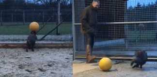 jabali juega al futbol