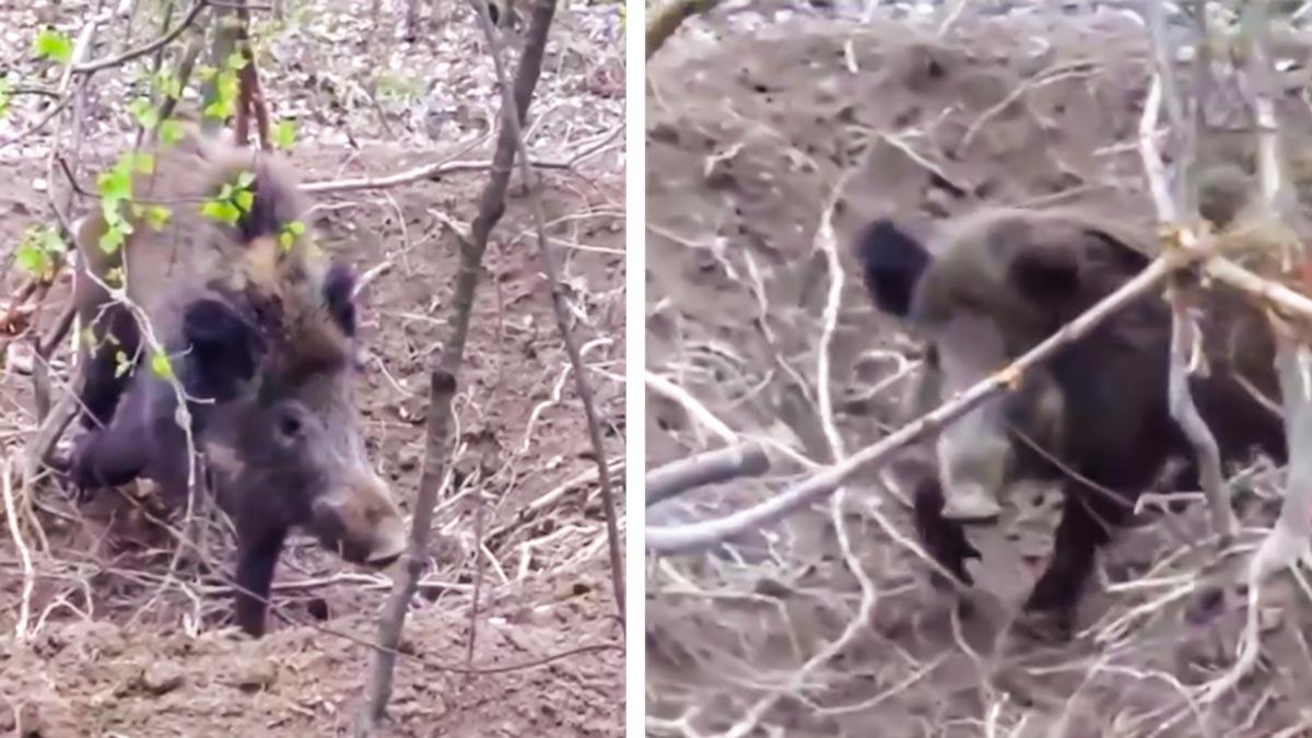 Encuentran a un jabalí atrapado en un lazo, lo liberan y este les ataca