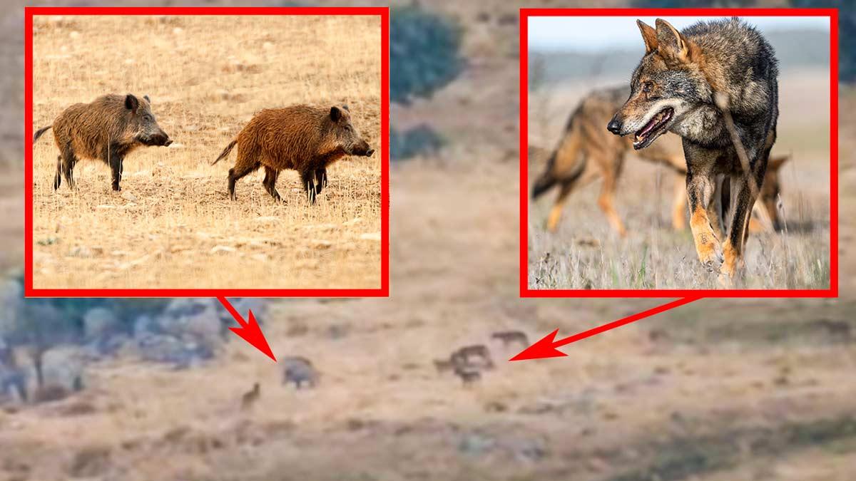 Esta es la reacción de dos jabalíes acorralados por seis lobos en la sierra de Guadarrama