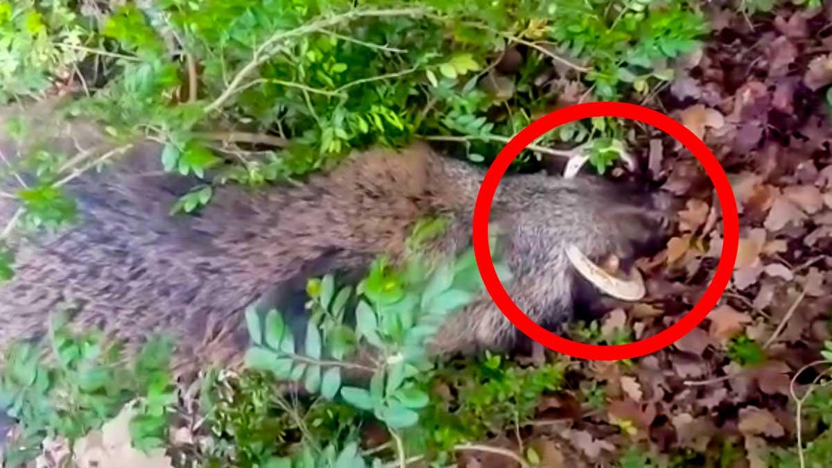 «¡Acabo de cazar un mamut!»: Un cazador alucina tras abatir este increíble jabalí
