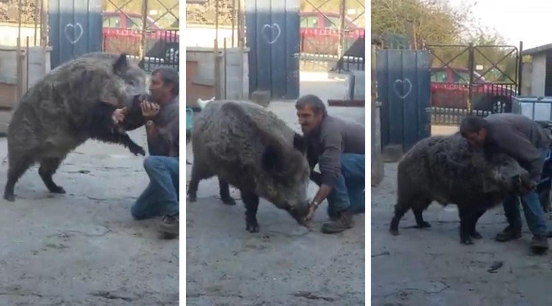 Un hombre adopta como mascota este descomunal jabalí