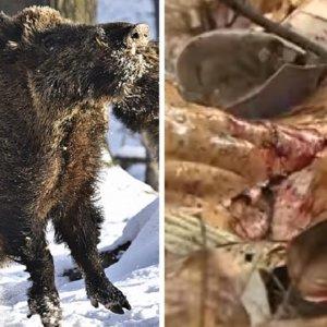 Un jabalí ataca y mata a un cazador de 59 años