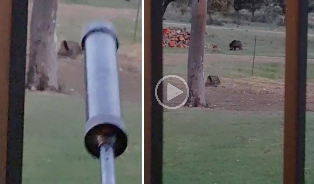 Mata a un jabalí desde su casa disparando con silenciador: el vídeo viral que indigna a los cazadores