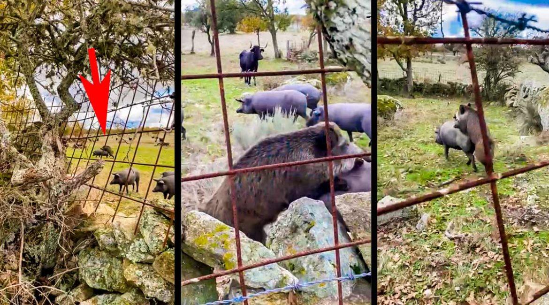 Este vídeo de un jabalí en una piara de cerdos demuestra por qué la caza es esencial y no puede parar