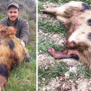 Caza un peculiar jabalí moteado durante una batida en Navarra