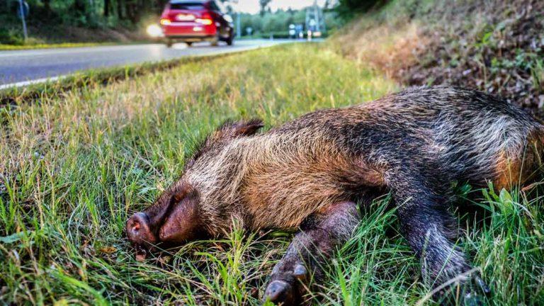 Jabalí muerto como consecuencia de un accidente de tráfico.