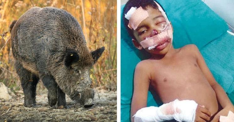 Un jabalí muerde a un niño en la cara tras haber volcado su vehículo