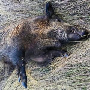 Un cazador encuentra un jabalí muerto y con la lengua azul en Salamanca