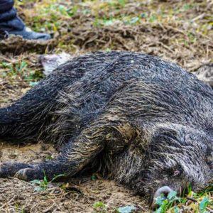 Aparece un jabalí muerto en Alemania: la peste porcina podría haber llegado