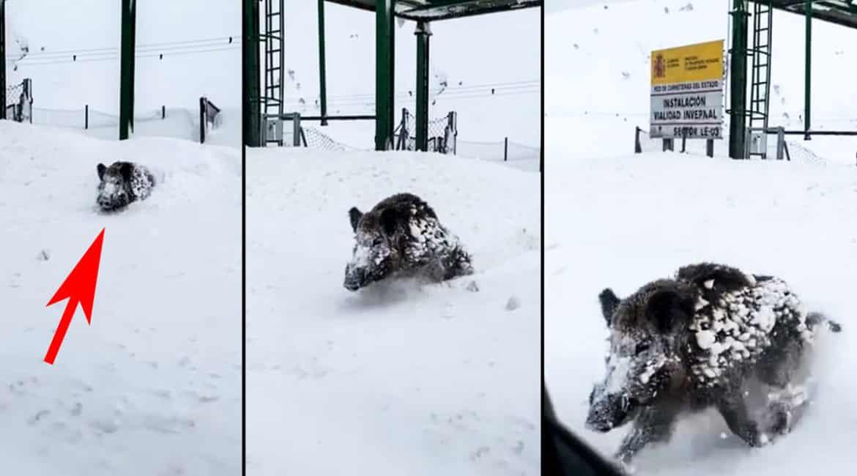 Un jabalí emerge de la nieve y está a punto de embestir a un coche en León
