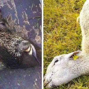 Un extraño animal mata sus ovejas, hace una espera y caza este jabalí de 150 kilos