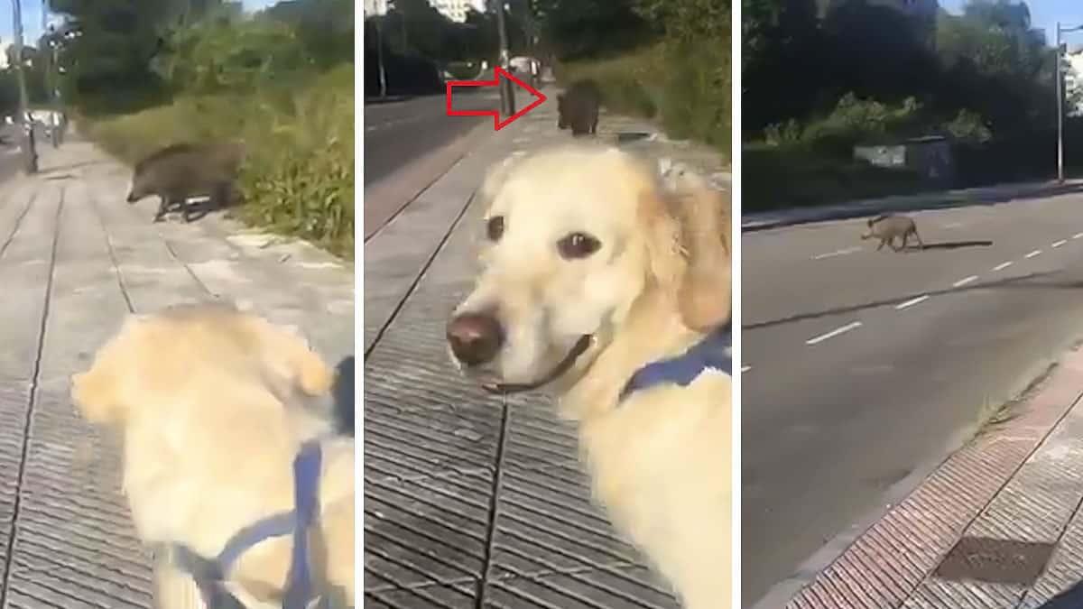 Sale a pasear a su perra y se encuentra cara a cara con un jabalí