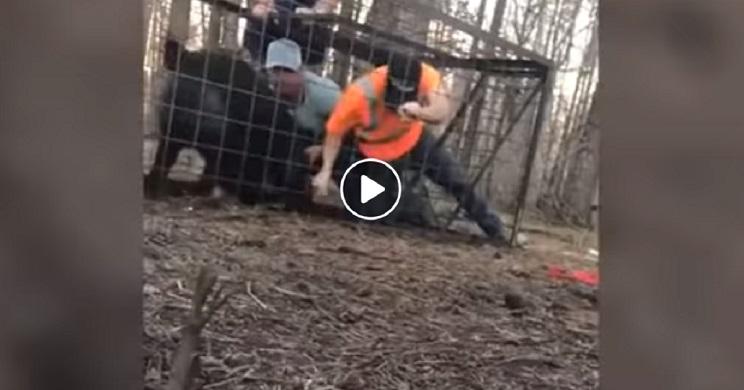 Intentan liberar a un jabalí de una jaula trampa y reciben una soberana paliza