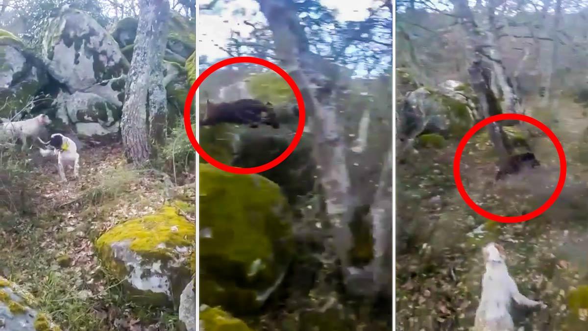 Esta la huida de película de un jabalí 'volador' acorralado por dos perros de caza menor