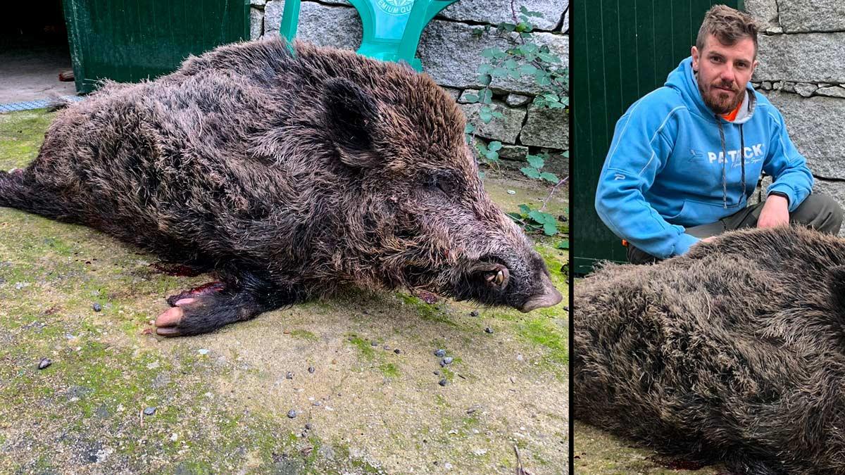 Cazan un jabalí de 120 kilos que estaba plantando cara a siete perros