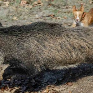 Varios perros de caza enferman y mueren en Navarra poco después de morder a un jabalí