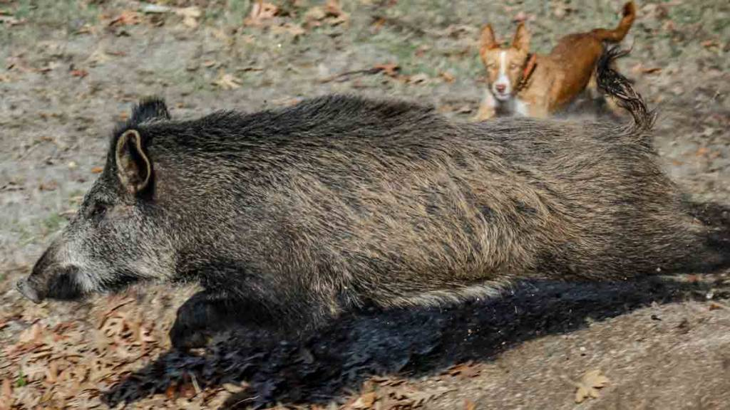 La enfermedad de Aujeszky podría ser la causante de la muerte de los perros. /Shutterstock