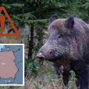 Localizado un jabalí con peste porcina a las puertas de Alemania